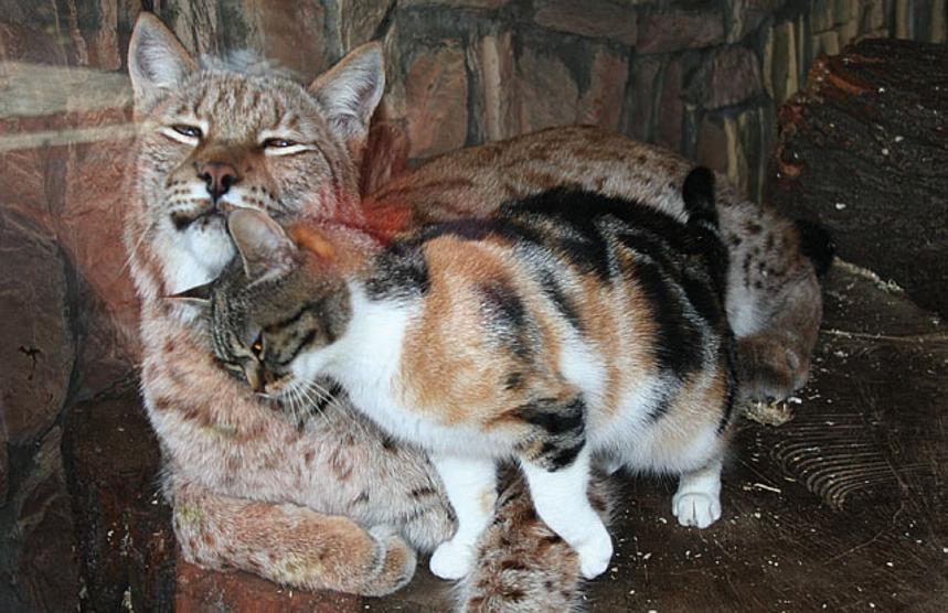 san pietroburgo nello zoo un gatto fa amicizia con le linci. Black Bedroom Furniture Sets. Home Design Ideas